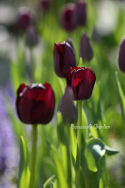 花たちの囁き~今朝の庭から_a0135366_10193397.jpg