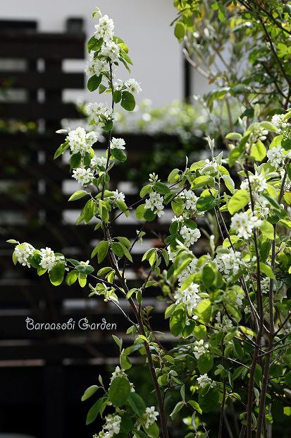 花たちの囁き~今朝の庭から_a0135366_10201350.jpg