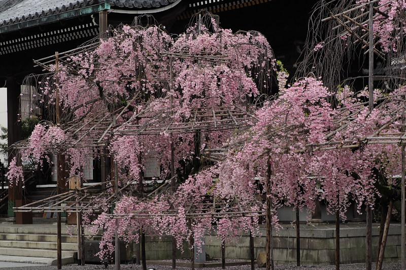 桜  2015 <仏光寺>                         _f0021869_044560.jpg