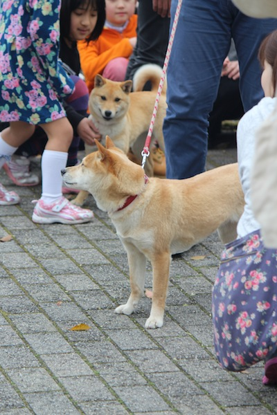 山陰柴犬・女子会 in YONAGO : 奥日野さん歩