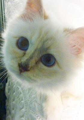 世界一有名な猫ちゃん、カール・ラガーフェルドさんの愛猫シュペットちゃん、昨年400万ドルほど稼ぐ?!_b0007805_1928585.jpg