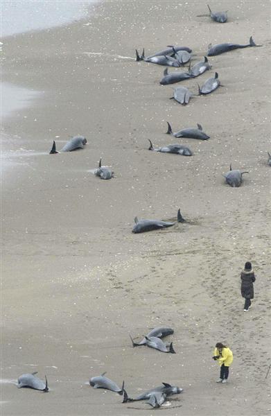 茨城の海岸に130匹以上のイルカが座礁→米原潜のソナーのせいか?地震の前触れ?_e0171614_11384191.jpg