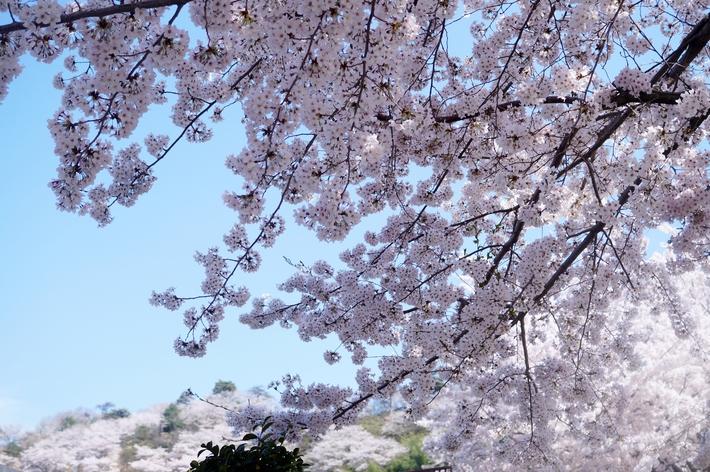 名残の桜【続②地元愛川 さがみの霊園のソメイヨシノ】も素敵でした♪4月4日撮影_b0033423_2135161.jpg
