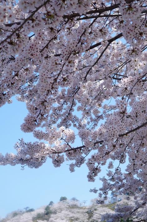 名残の桜【続②地元愛川 さがみの霊園のソメイヨシノ】も素敵でした♪4月4日撮影_b0033423_2142831.jpg