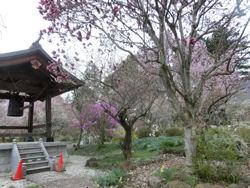我が町シリーズ日野春(桜)_f0019247_10292165.jpg
