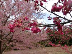 我が町シリーズ日野春(桜)_f0019247_10312372.jpg