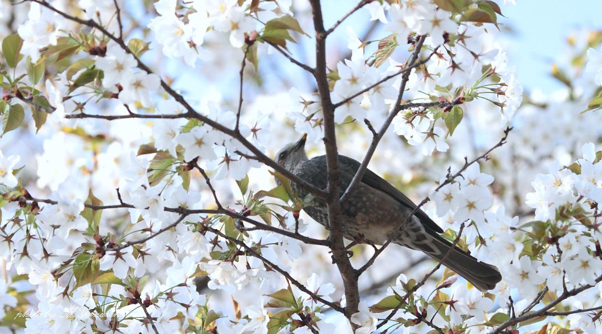 桜ヒヨドリ 花筏_c0217255_2117785.jpg