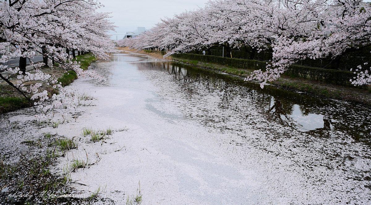 桜ヒヨドリ 花筏_c0217255_2121462.jpg