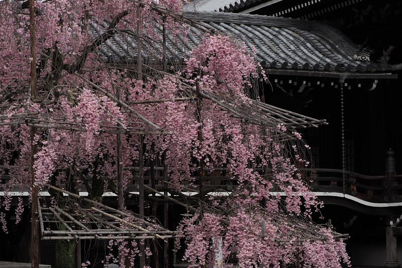 桜  2015 <仏光寺>                         _f0021869_054449.jpg