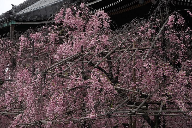 桜  2015 <仏光寺>                         _f0021869_06597.jpg