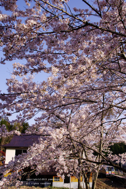 道後山の桜並木_d0309612_23235117.jpg