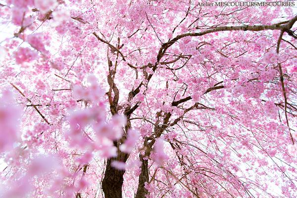 Sakura Shower_e0194450_21202310.jpg