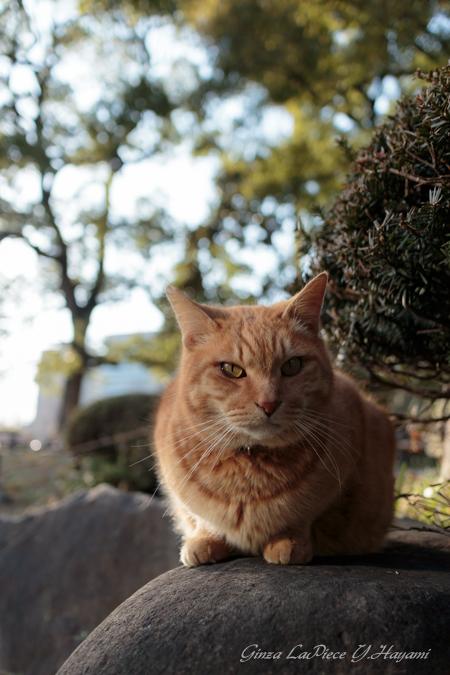 猫のいる風景 日比谷公園 見つめるチャッピー_b0133053_00768.jpg