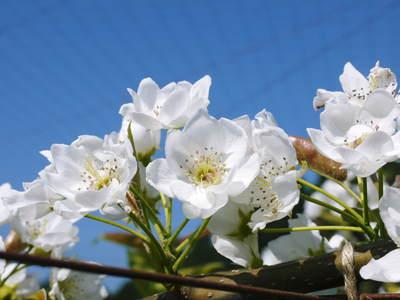 熊本梨 岩永農園 梨の花とミツバチによる交配(受粉)の話_a0254656_17565038.jpg