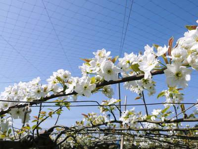 熊本梨 岩永農園 梨の花とミツバチによる交配(受粉)の話_a0254656_18104165.jpg