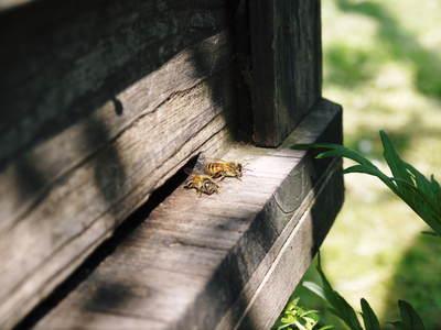熊本梨 岩永農園 梨の花とミツバチによる交配(受粉)の話_a0254656_18221058.jpg