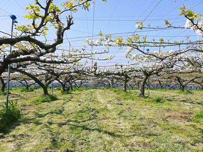 熊本梨 岩永農園 梨の花とミツバチによる交配(受粉)の話_a0254656_18251932.jpg