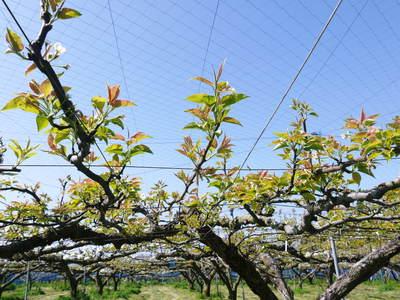 熊本梨 岩永農園 梨の花とミツバチによる交配(受粉)の話_a0254656_18303723.jpg