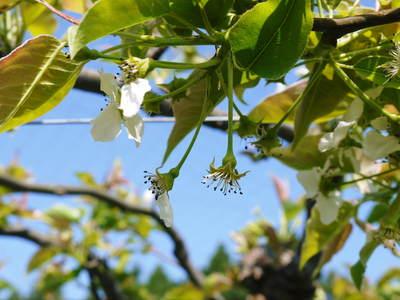 熊本梨 岩永農園 梨の花とミツバチによる交配(受粉)の話_a0254656_18315144.jpg