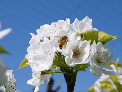 熊本梨 岩永農園 梨の花とミツバチによる交配(受粉)の話_a0254656_1840851.jpg