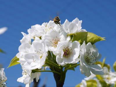 熊本梨 岩永農園 梨の花とミツバチによる交配(受粉)の話_a0254656_18435620.jpg