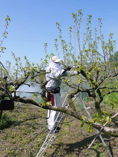 熊本梨 岩永農園 梨の花とミツバチによる交配(受粉)の話_a0254656_18552791.jpg