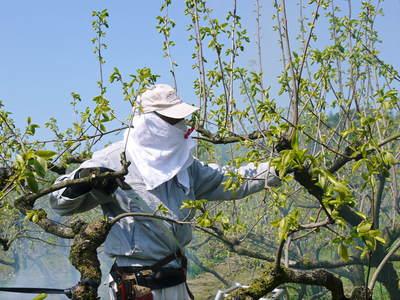 熊本梨 岩永農園 梨の花とミツバチによる交配(受粉)の話_a0254656_190222.jpg