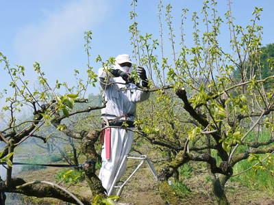 熊本梨 岩永農園 梨の花とミツバチによる交配(受粉)の話_a0254656_19102749.jpg