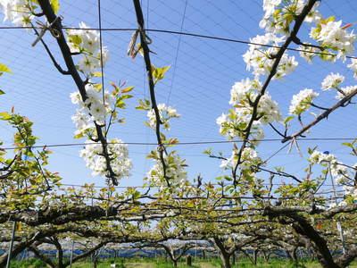 熊本梨 岩永農園 梨の花とミツバチによる交配(受粉)の話_a0254656_19232966.jpg
