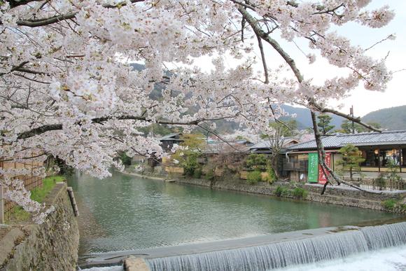嵯峨野嵐山 サクラ 2015年_d0202264_993237.jpg