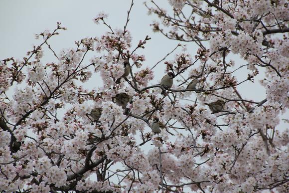 嵯峨野嵐山 サクラ 2015年_d0202264_99365.jpg