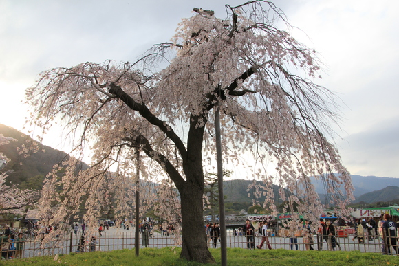 嵯峨野嵐山 サクラ 2015年_d0202264_995618.jpg