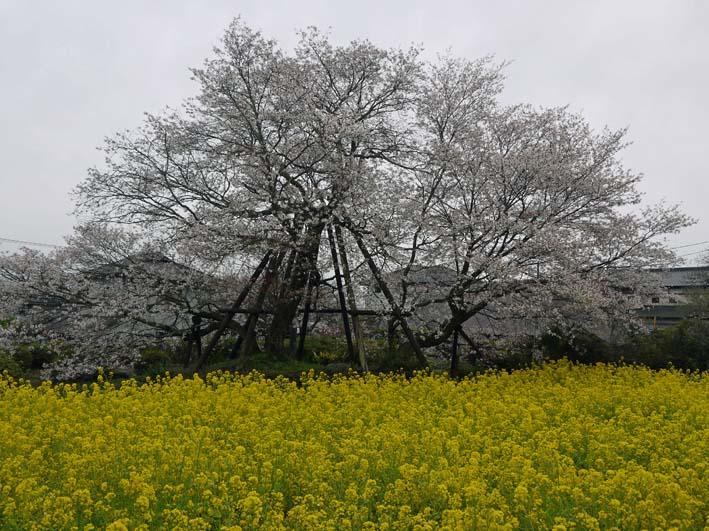 富士の裾野で日本最古の山桜・狩宿の下馬桜に対面4・10_c0014967_12335545.jpg