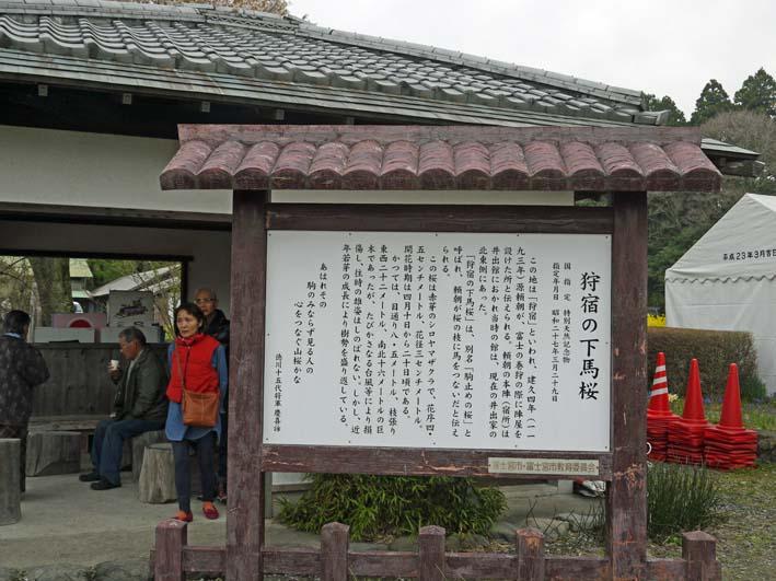 富士の裾野で日本最古の山桜・狩宿の下馬桜に対面4・10_c0014967_12341043.jpg