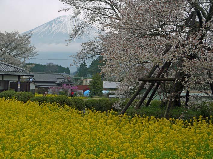 富士の裾野で日本最古の山桜・狩宿の下馬桜に対面4・10_c0014967_12343360.jpg