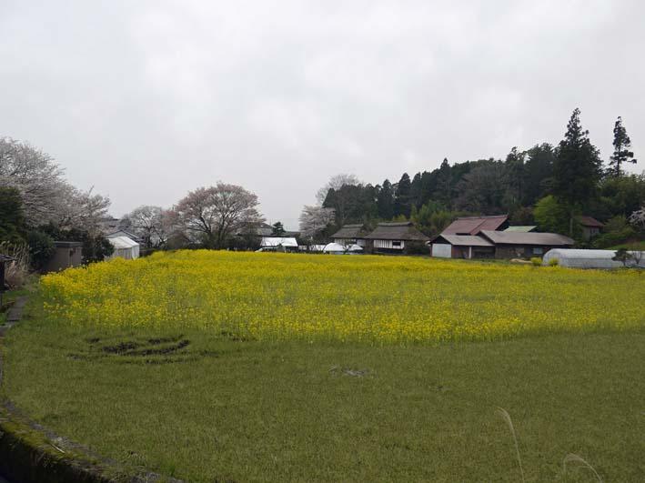 富士の裾野で日本最古の山桜・狩宿の下馬桜に対面4・10_c0014967_1235722.jpg