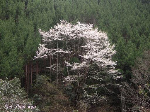 名残の桜 2015年4月12日_a0164068_23535944.jpg