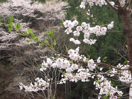 名残の桜 2015年4月12日_a0164068_23542996.jpg