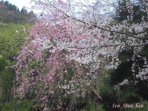 名残の桜 2015年4月12日_a0164068_23545723.jpg
