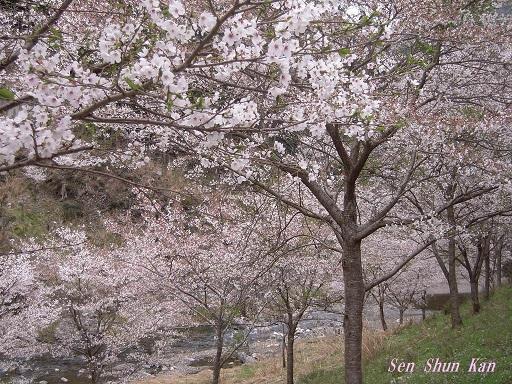 名残の桜 2015年4月12日_a0164068_23555263.jpg