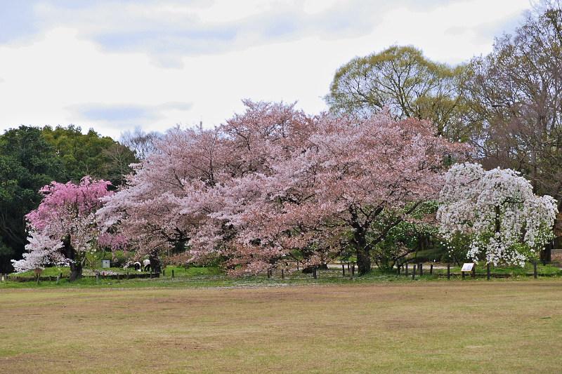 桜  2015 <植物園>                         _f0021869_020239.jpg