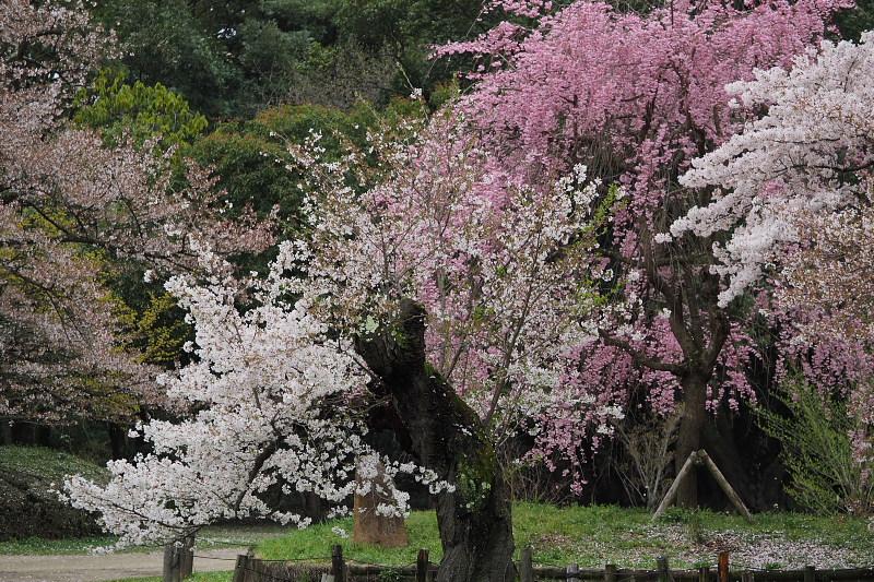 桜  2015 <植物園>                         _f0021869_0203250.jpg