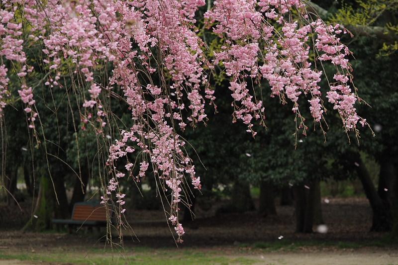桜  2015 <植物園>                         _f0021869_0211619.jpg