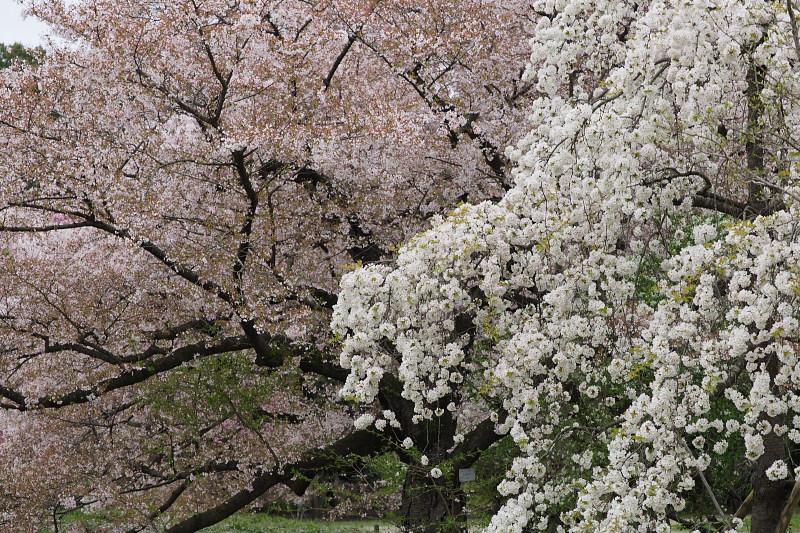 桜  2015 <植物園>                         _f0021869_021372.jpg