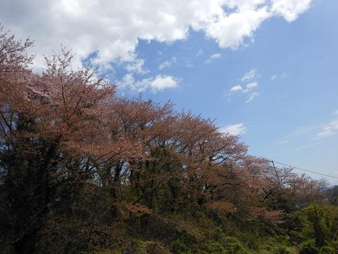 無くなるわけではないけれど…惜別の桜が散る_e0175370_161538.jpg