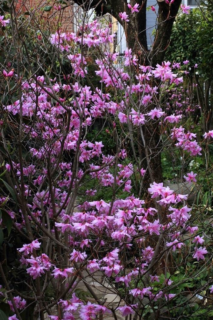 アナタの理想の庭は  ~チェリーセージ、ミツバツツジ~_a0107574_06353596.jpg