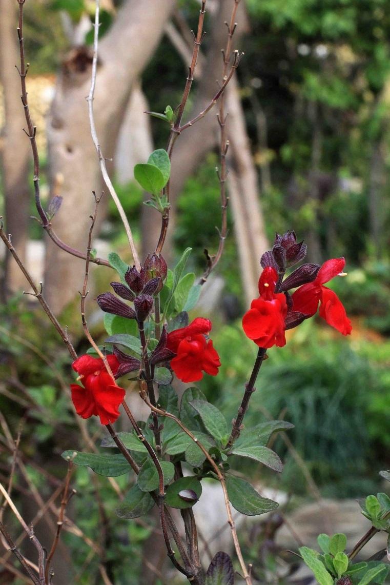アナタの理想の庭は  ~チェリーセージ、ミツバツツジ~_a0107574_06354411.jpg