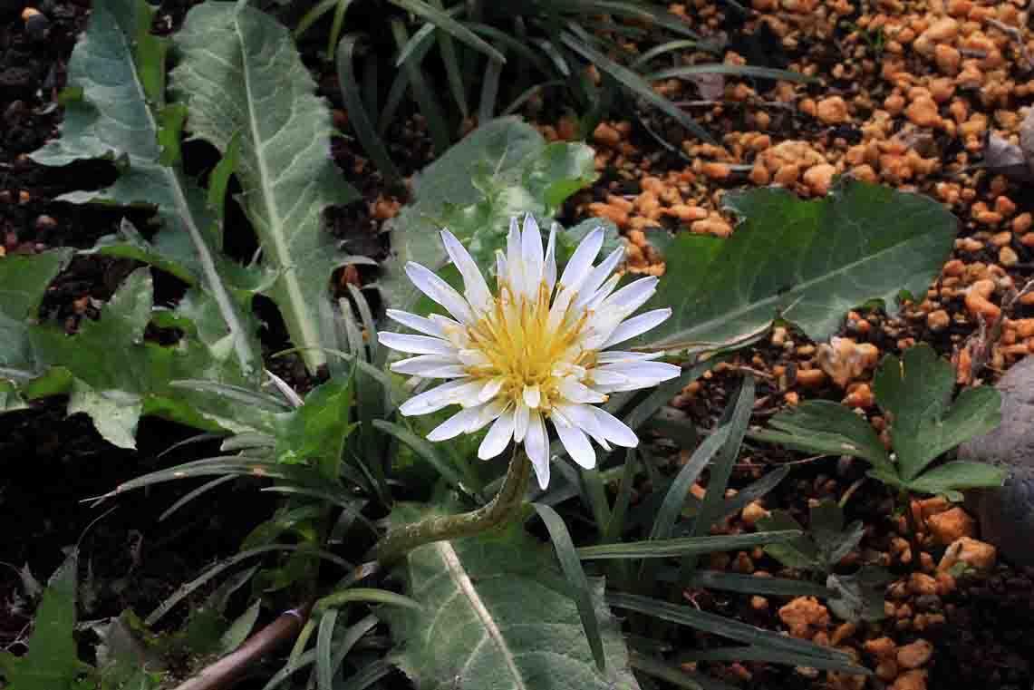 雑草のように生きる  ~シラユキゲシ、黄花ホウチャクソウ、白花タンポポ~_a0107574_20295277.jpg