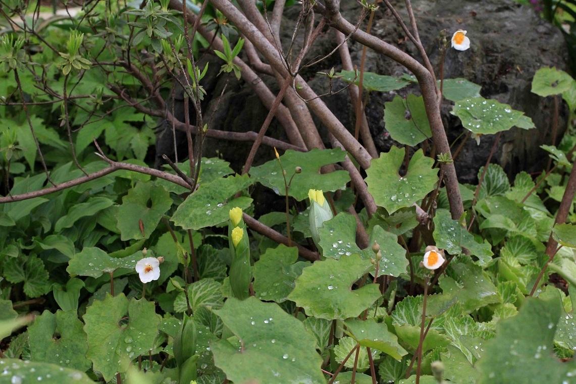 雑草のように生きる  ~シラユキゲシ、黄花ホウチャクソウ、白花タンポポ~_a0107574_20295854.jpg