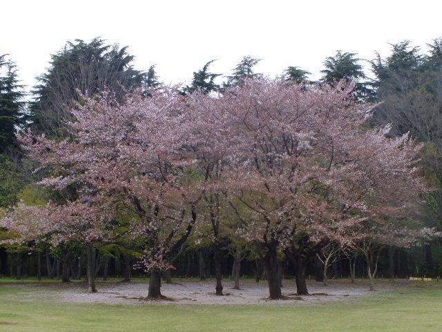 4月10日 小金井公園見て歩き 桜編。_e0145782_17332529.jpg